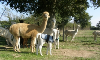argenton alpacas